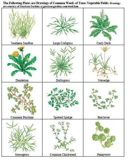 common weeds and their scientific names with pictures pdf