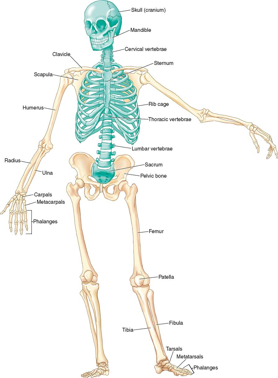 axial skeleton and appendicular skeleton pdf